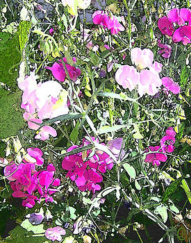 Peri Craig - Sweet Peas in Sunlight