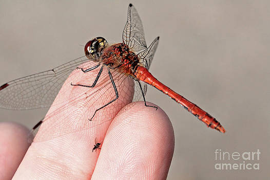 Sympetrum sanguineum Ruddy Darter brings a  gift to photographe by Mary C Legg