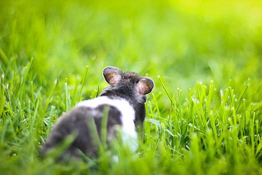 Syrian hamster by Asta Viggosdottir