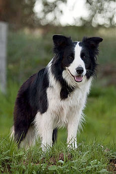 Michelle Wrighton - Taj - Border Collie