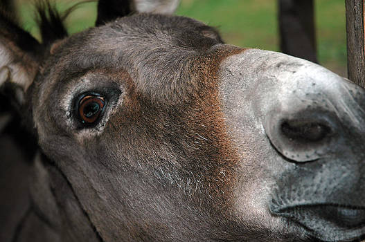 LeeAnn McLaneGoetz McLaneGoetzStudioLLCcom - Talking Donkey