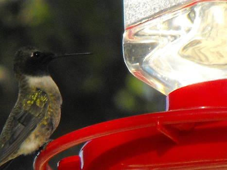 Texas Hummingbird by Rebecca Cearley