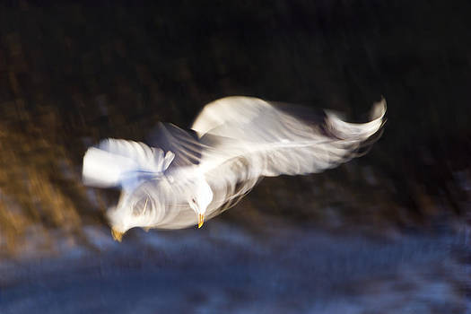 Th gull is a beauty by Syssy Jaktman