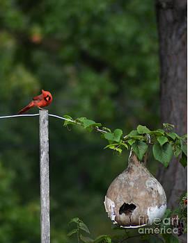 The Cardinal by Dwayne Cain