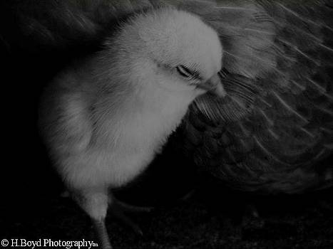 The Chick by Heather  Boyd