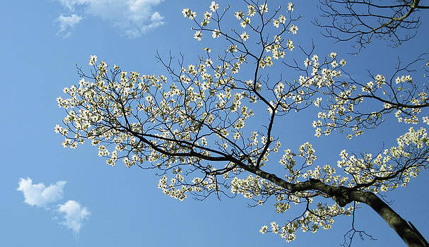 The dogwood melting in the blue sky by Jason Zhang