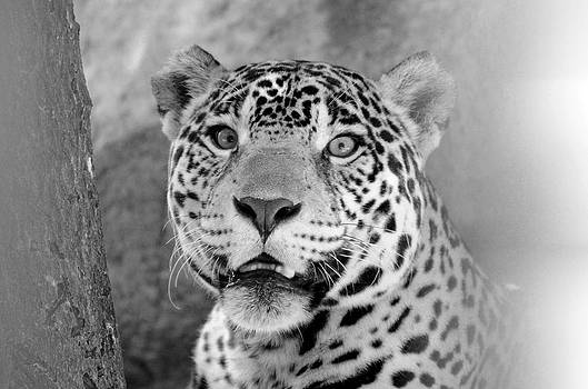 The Jaguar Spots You by Catherine Murton