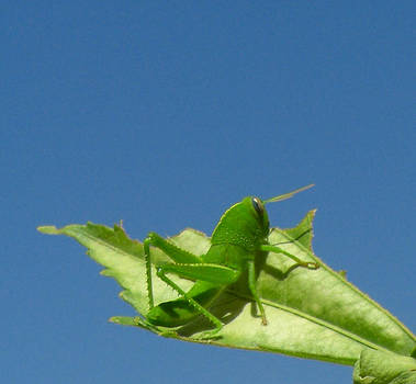 The Little Green Grasshopper by Alison Quine
