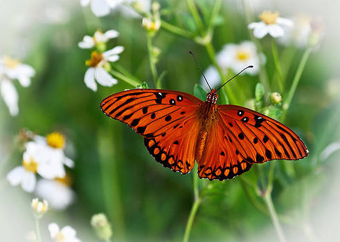 The Passion Butterfly by Lawrence Ott
