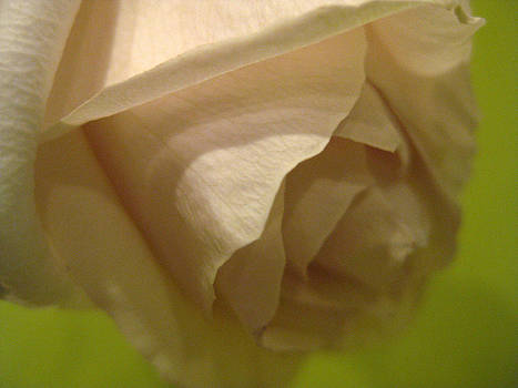 The Perfect Rose by Phachesnie Studio