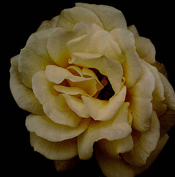 The Rose by David Campbell