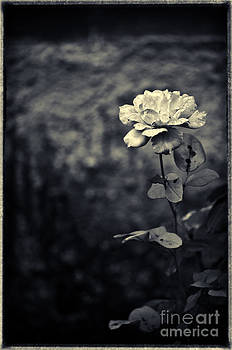 Silvia Ganora - The rose