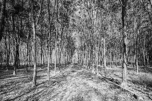 The rubber trees forest. by Wittaya Uengsuwanpanich