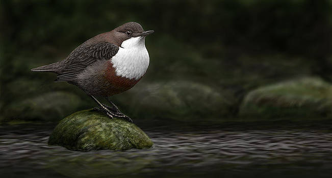 The White throated Dipper by Deak Attila