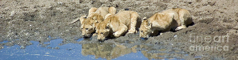 Darcy Michaelchuk - Thirsty Lion Cubs