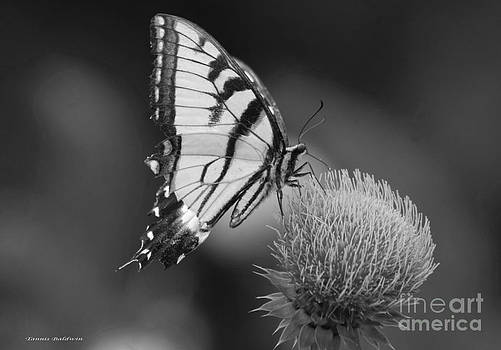 Tannis  Baldwin - Thistle Butterfly 1 BW