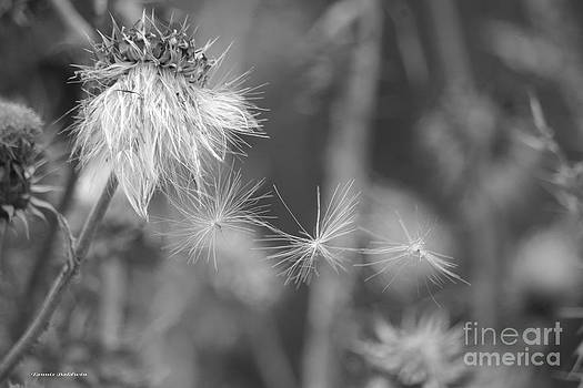 Tannis  Baldwin - Thistle Seeds 2 BW
