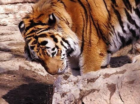 Tiger by Anne Back