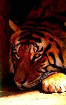 Tiger by Nicole Champion