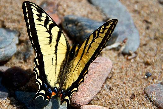 Tiger Swallowtail Butterfly by Scott Holmes