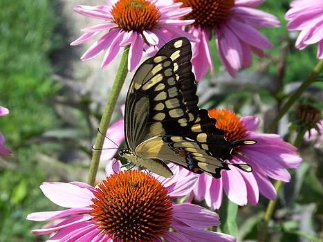 Tiger Swallowtail by Linda Francis