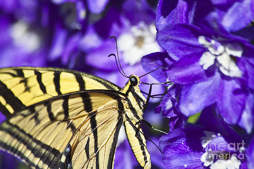 Tiger Swallowtail on Delphiniums by Scotts Scapes