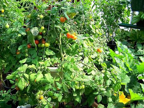 Tomato Harvest by Susan Saver