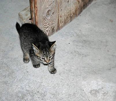 LeeAnn McLaneGoetz McLaneGoetzStudioLLCcom - Tough Barn Kitten