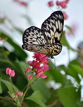 Marty Koch - Translucent Butterfly