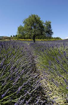 BERNARD JAUBERT - Tree in a field of lavender. Provence