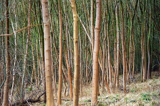 Svetlana Sewell - Tree Trunks