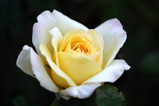 Trilogy of a Rose -Day One by LC  Linda Scott