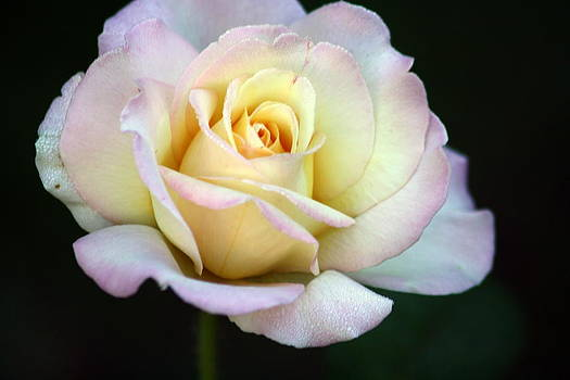 Trilogy of a Rose- Day Two by LC  Linda Scott