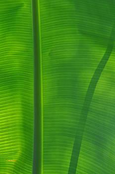 Tropical Leaf 3 by Peter  McIntosh