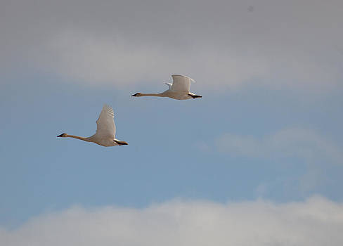 Trumpeter Swans by Sam Amato