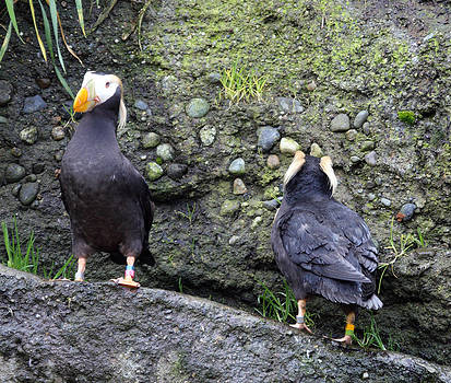 S and S Photo - Tufted Puffin - 0015
