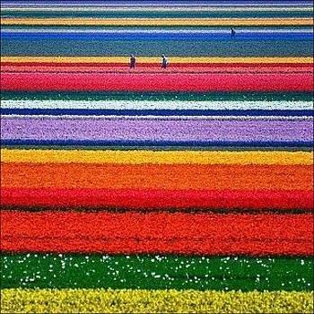 Tulip field by Sunkies Fang