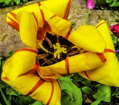 Tulip in MACRO by Gordon H Rohrbaugh Jr
