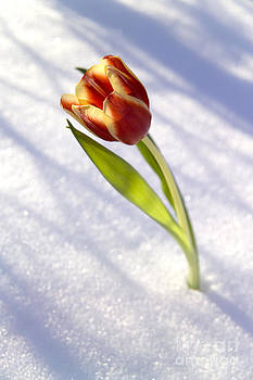 Tulip in snow by Tony Cordoza