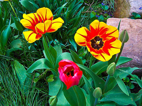 Tulips in garden by Gordon H Rohrbaugh Jr