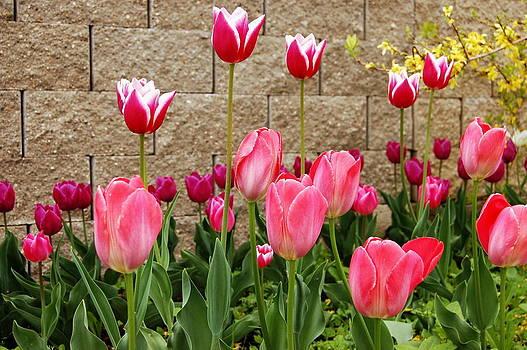 Tulips by Lenka Kendralova