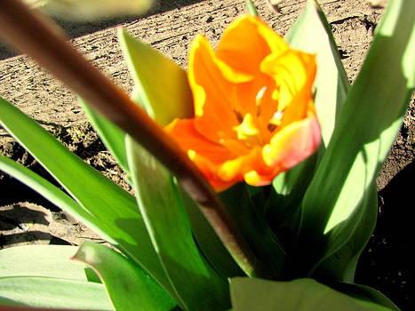 Tulips Light by Amy Bradley