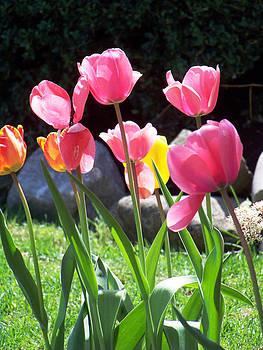 Tulips by Stephen Janko