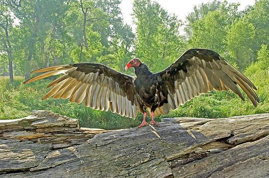James Steele - Turkey Vulture