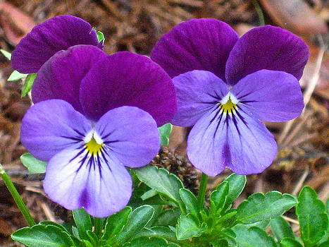 Twin Pansies by Claire Pridgeon
