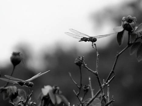 Two Dragonflies by Floyd Smith