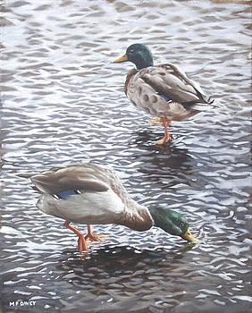 Martin Davey - two mallard ducks standing in water