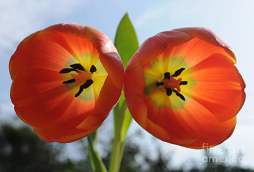 Two Tulips by Dan Holm