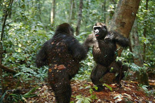 Two Western Lowland Gorillas Competing by Michael Nichols