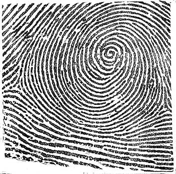 Science Source - Typical Whorl Pattern in 1900